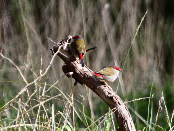 Red-browed%20Finches,%20Woodlands.jpg