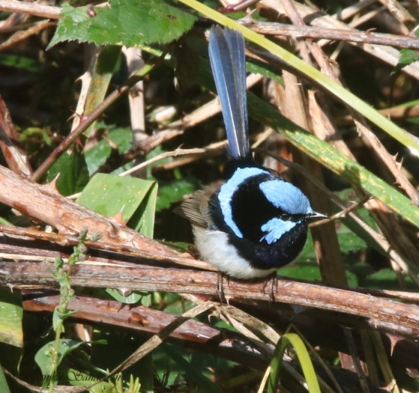 Superb Fairy-wren male in breeding plumage - Sanderson
