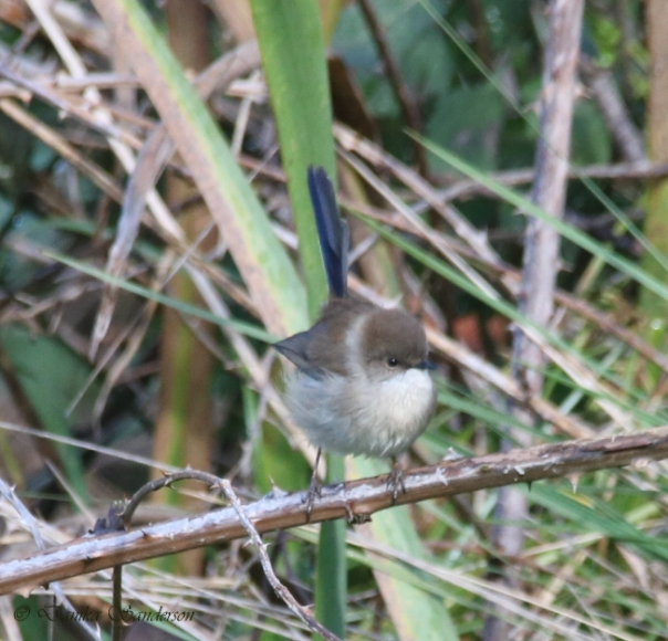 Superb Fairy-wren male - Sanderson