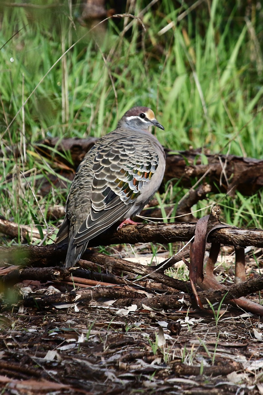 Common Bronzewing, Westerfolds Park