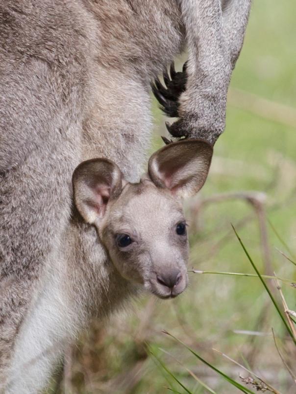 Eastern Grey Kangaroo joey Lysterfield 2017 07 22 1468 800x1067 M Serong