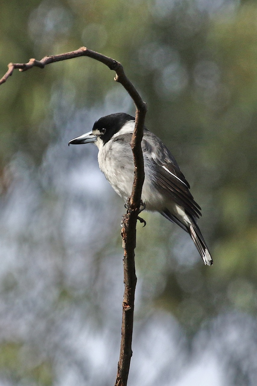 Grey Butcherbird, Westerfolds Park