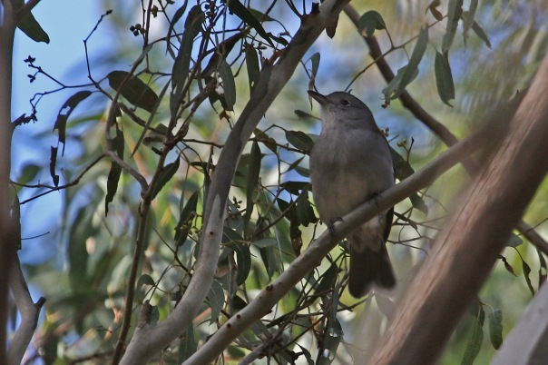 Grey Shrike-thrush, Wessterfolds Park