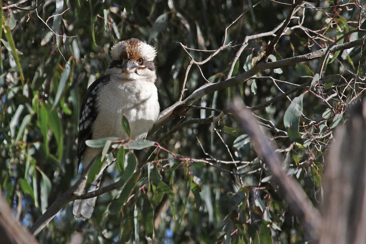 Laughing Kookaburra, Westerfolds Park.jpg