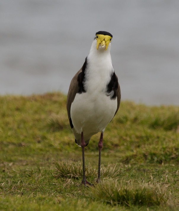 Masked Lapwing Lysterfield 2017 07 22 1588 800x944 M Serong