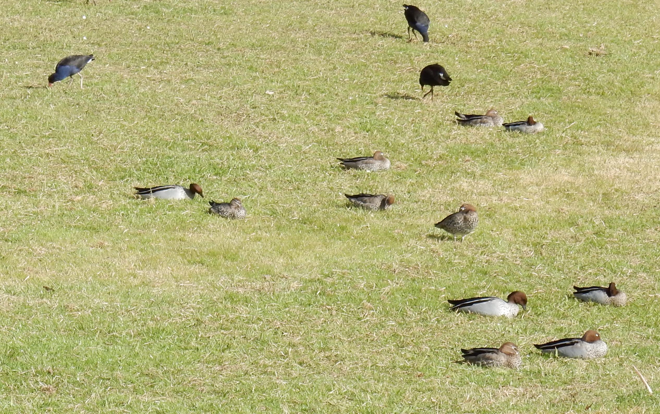 Purple Swamphen and Australian Wood Ducks