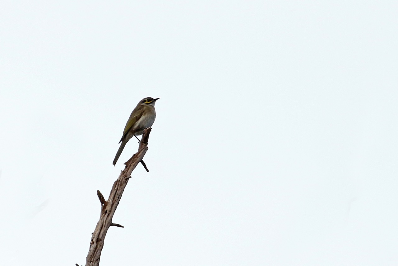 Yellow-faced Honeyeater, Westerfolds Park