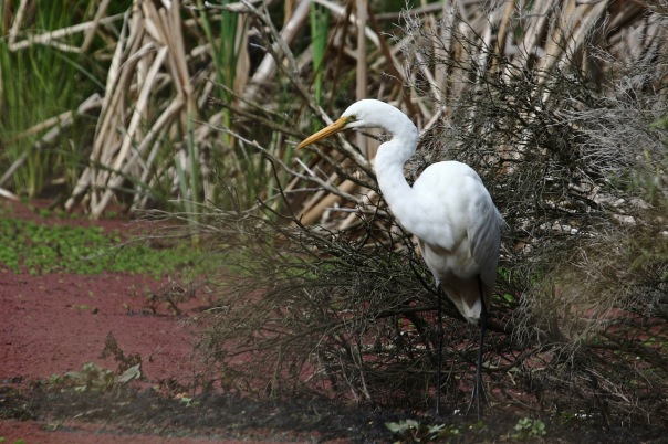 Great Egret, Jells Park