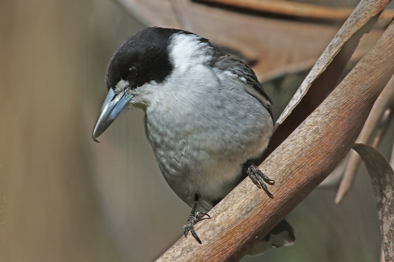 Grey Butcherbird%2c Jells Park.jpg