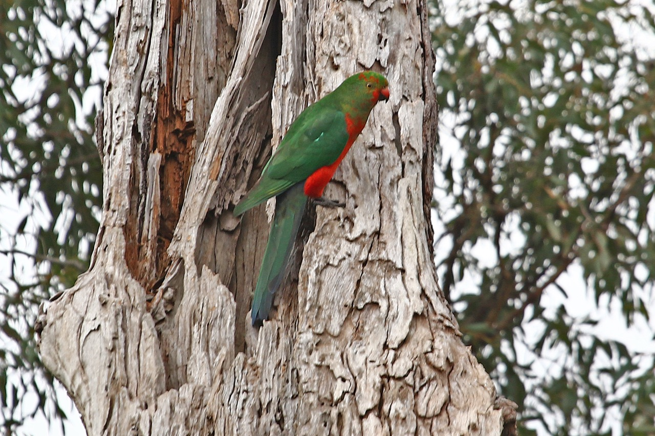 King Parrot(M), Jells Park