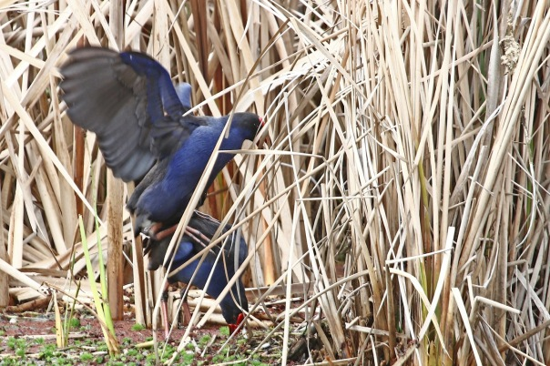 Purple Swamphens mating%2c Jells Park.jpg