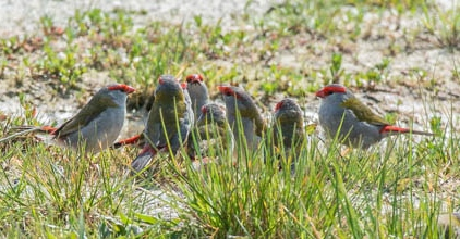 Red-browed Finches - Graeme Dean