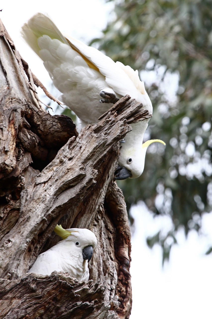 Sulphur-crested Cockatoos%2c Jells Park.jpg