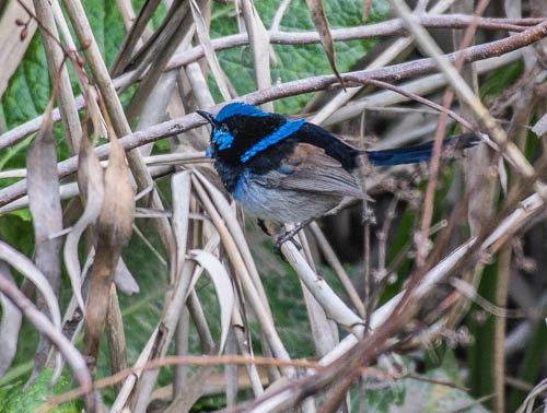 Superb Fairy-wren - Graeme Dean