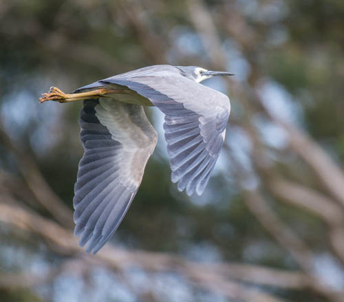White-faced Heron - Graeme Dean.jpg