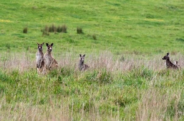 Easterm Grey Kangaroos - Bevan Hood