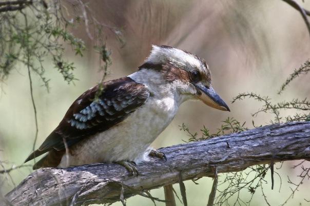 Laughing Kookaburra, Pound Bend