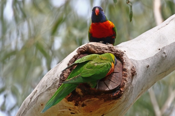 Rainbow Lorikeets%2c Pound Bend.jpg