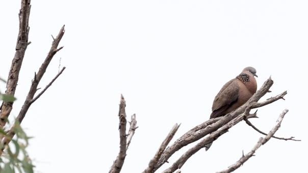 Spotted Dove - Bevan Hood
