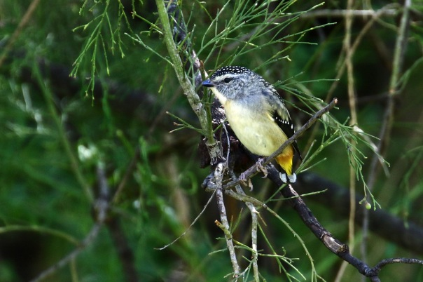 Spotted Pardalote (F), Pound Bend