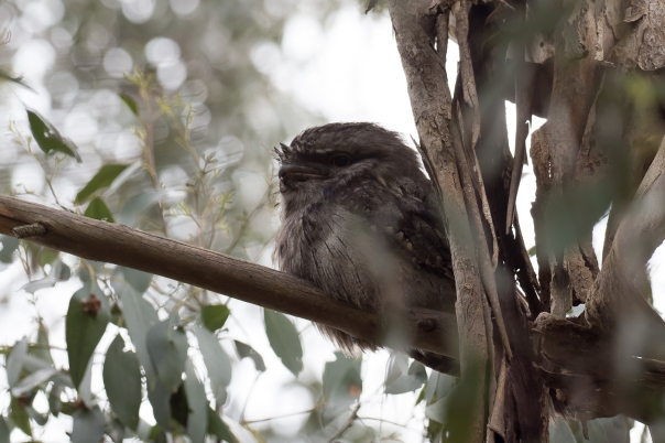 Tawny Frogmouth - Bevan Hood