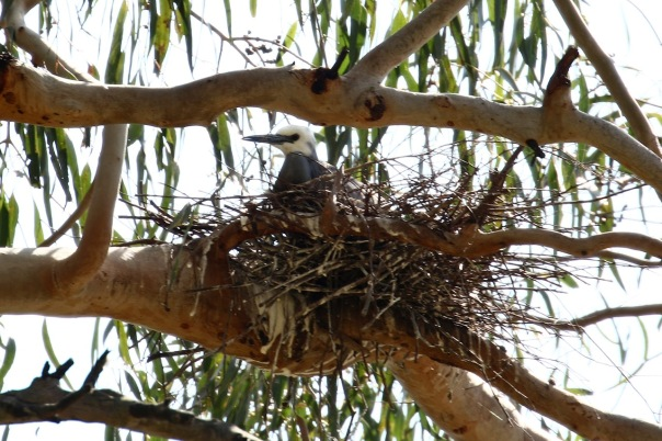White-faced Heron on nest, Pound Bend