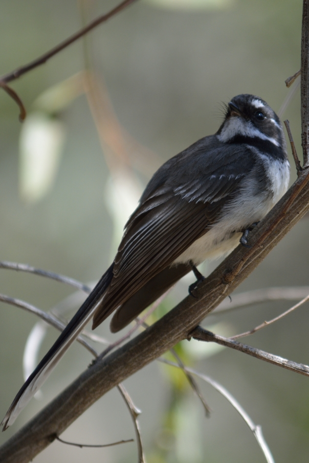 Grey Fantail- Christina Law.JPG
