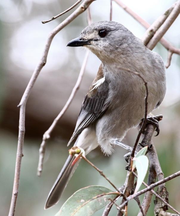Grey Shrike-thrush Cranbourne