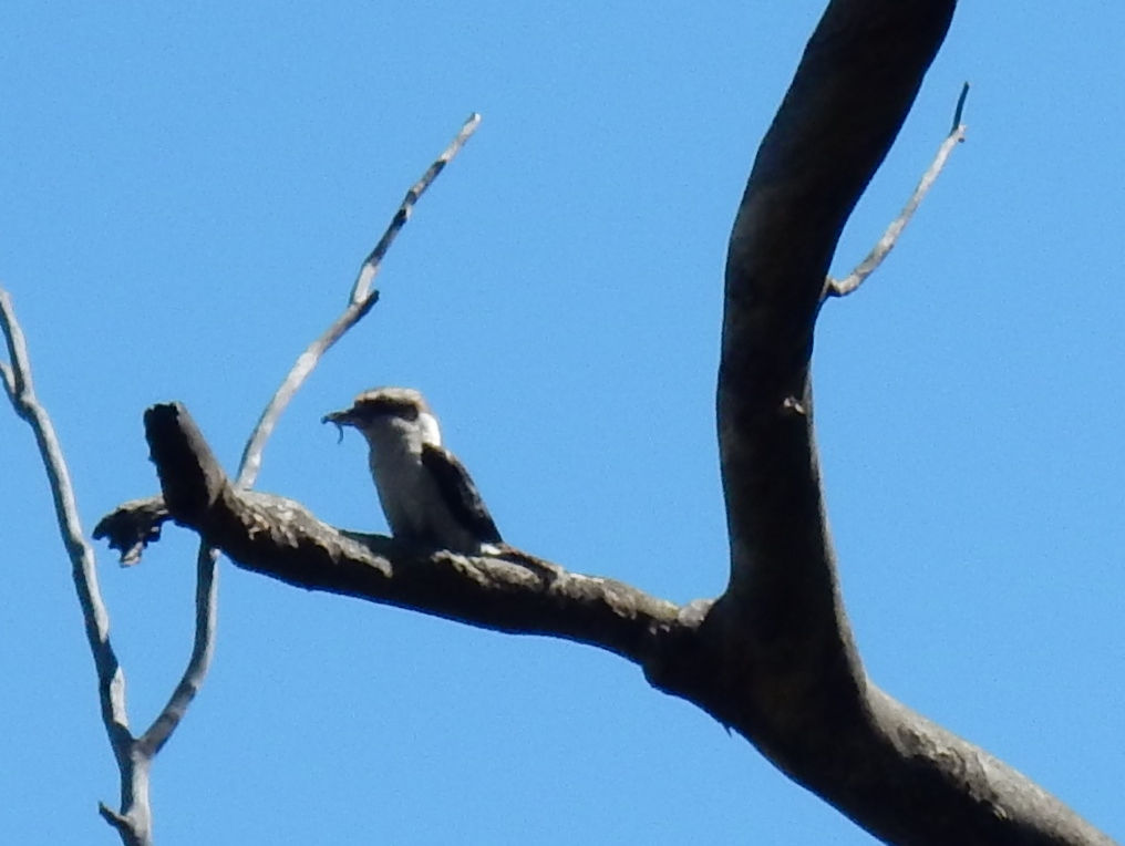 Lauging Kookaburra with prey - Tweeddale