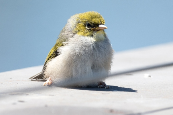 Recently fledged Silvereye - Bevan Hood.jpg