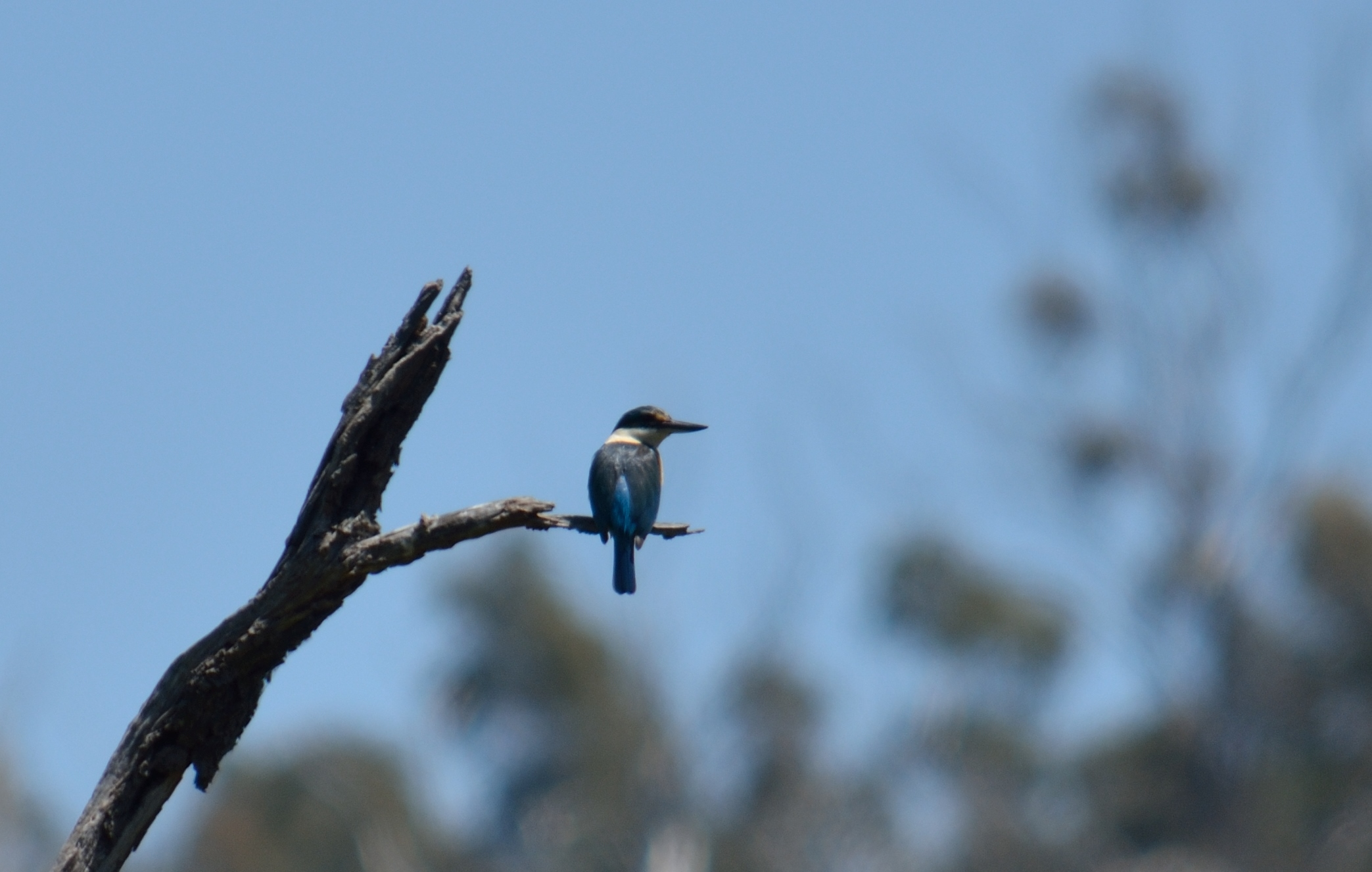 Sacred Kingfisher - Christina Law