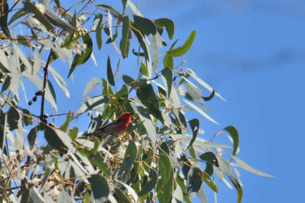 Scarlet honeyeater - Christina Law