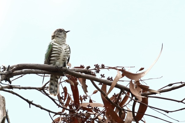 Shining Bronze-Cuckoo, Cranbourne