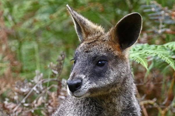 Swamp Wallaby, Cranbourne
