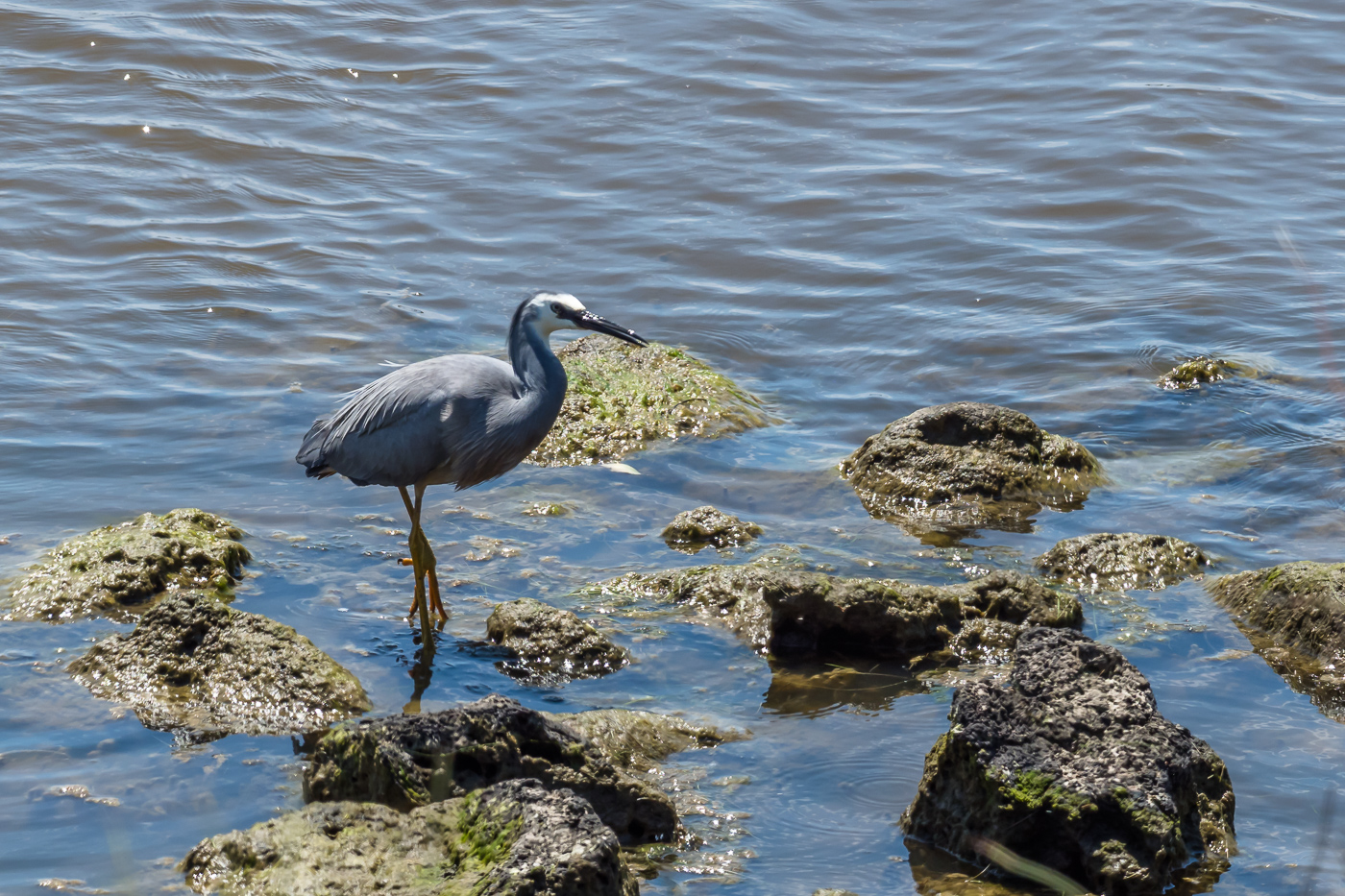 White-faced Heron - Bevan Hood