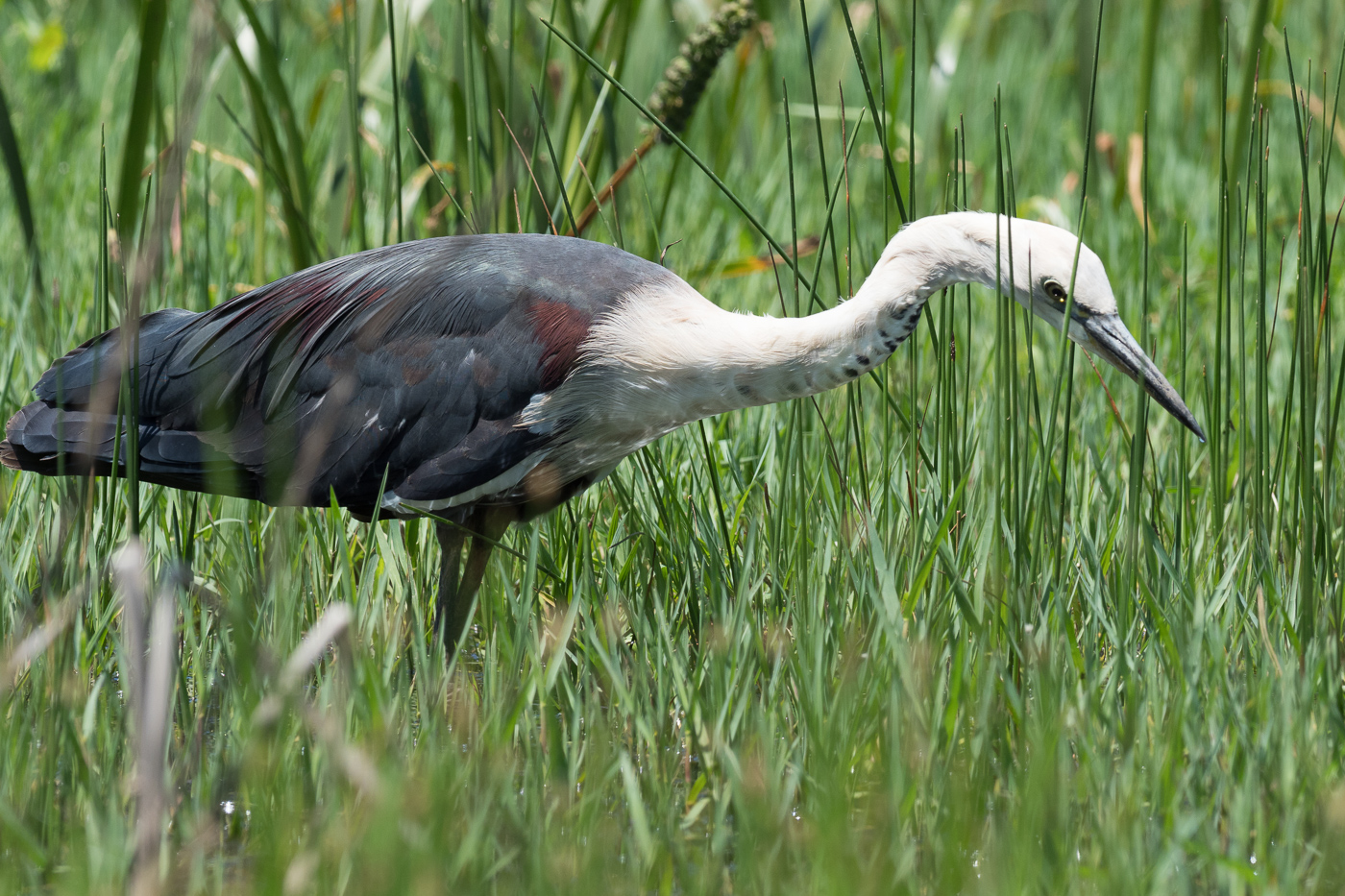 White-necked Heron - Bevan Hood