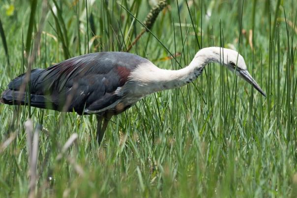 White-necked Heron - Bevan Hood