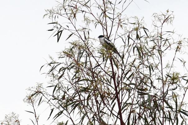 White-winged Triller, Cranbourne