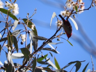 Scarlet Honeyeater male - Tina Wong