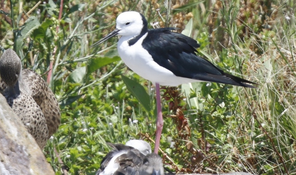 Black-winged Stilt - Roger Needham