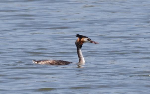 Great Crested Grebe Jawbone Res - M Serong