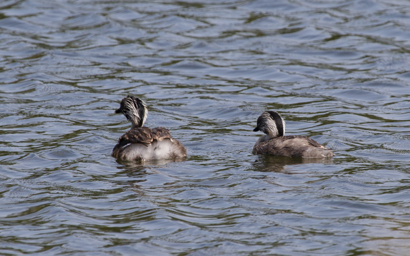 Hoary-headed Grebes Newport Lakes - M Serong