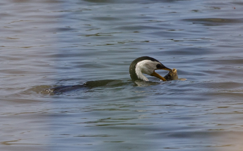 Little Pied Cormorant eating fish Newport Lakes 2018 01 27 800x500 M Serong