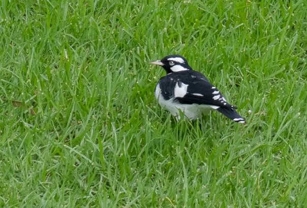 magpie-lark male - bevan hood