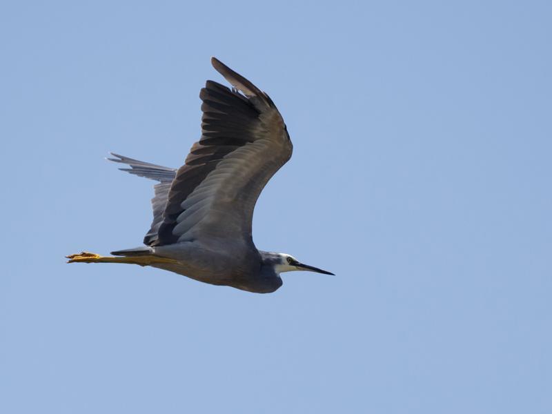 White-faced Heron Jawbone Res - M Serong