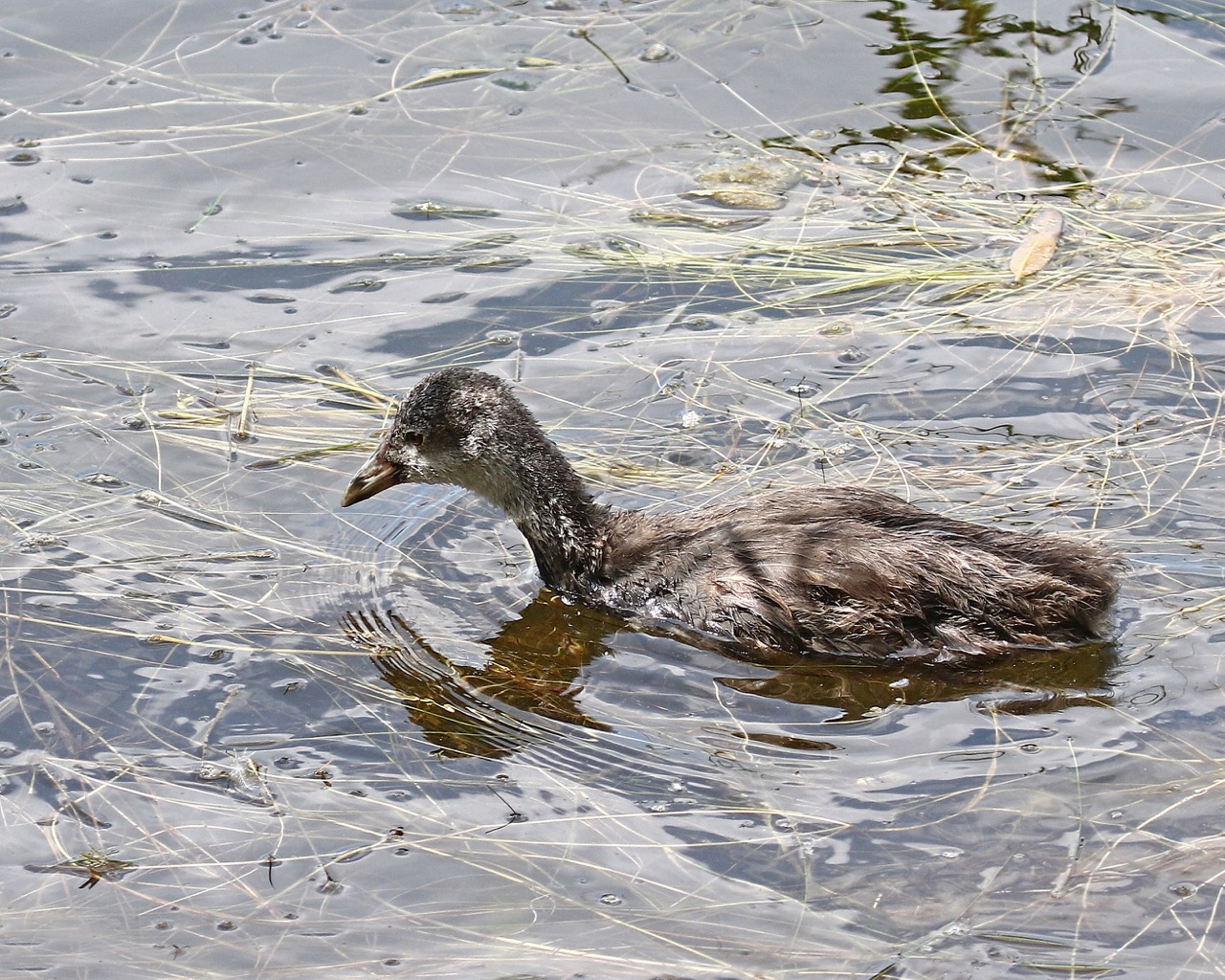 Young Eurasian Coot - Eleanor Dilley