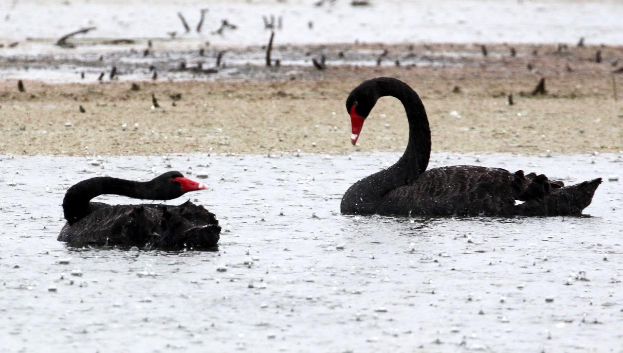 Black Swans, Braeside