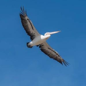 Australian Pelican. Photo by Graeme Dean