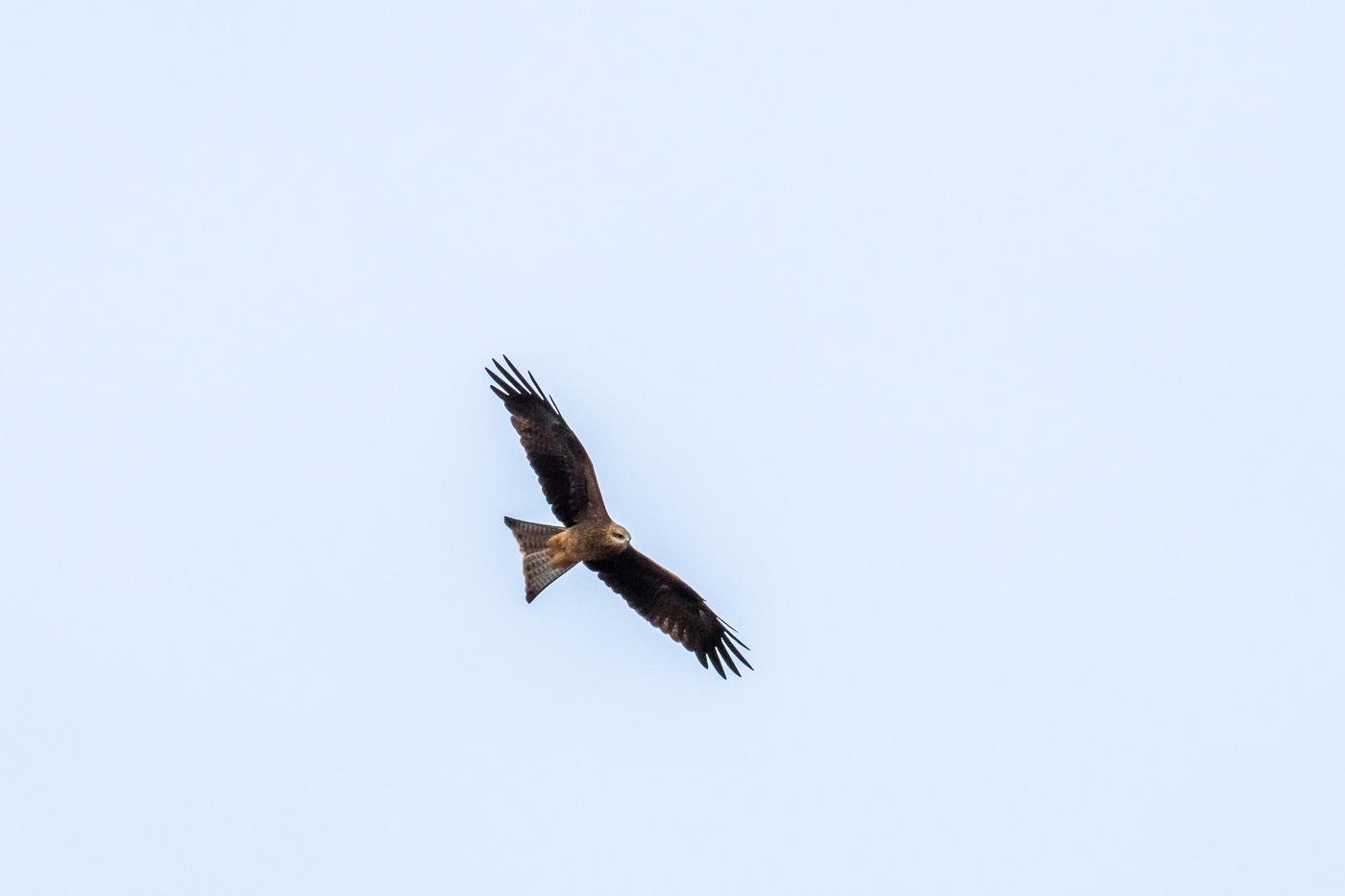 Black Kite - Bevan Hood