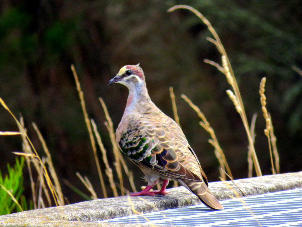 Common Bronzewing AV